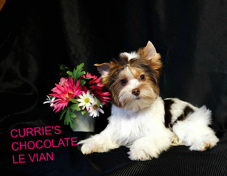 Texas Star Yorkies – Parti Yorkies,Traditional Yorkies, Blondes and